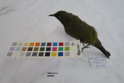 Bellbird / Korimako