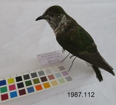 Shining Cuckoo / Pīpīwharauroa