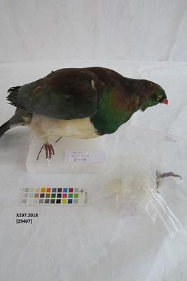 New Zealand Pigeon / Kererū