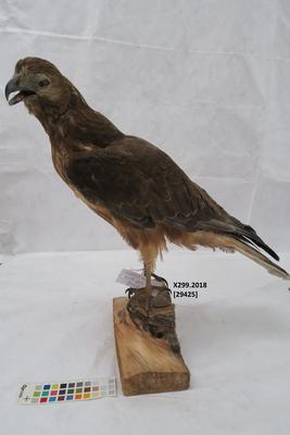 Hawk, unidentified