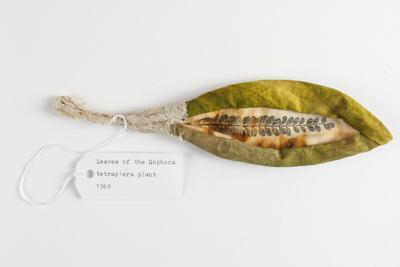 Kowhai Leaf