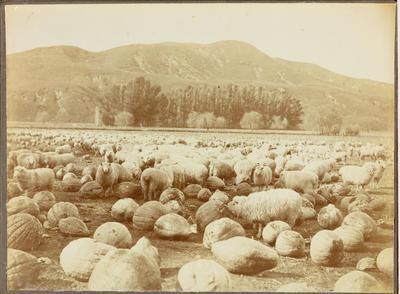 Wairakaia Station, Muriwai: sheep feeding on pumpkins in winter